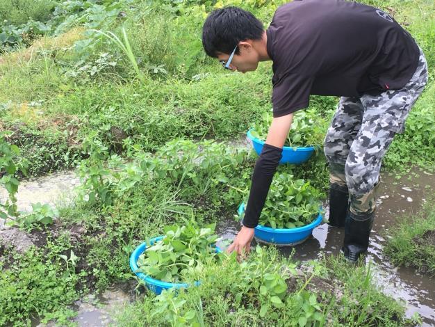 中華樂音樹環境教育學會-多元上工人員採收友善環境薄荷葉